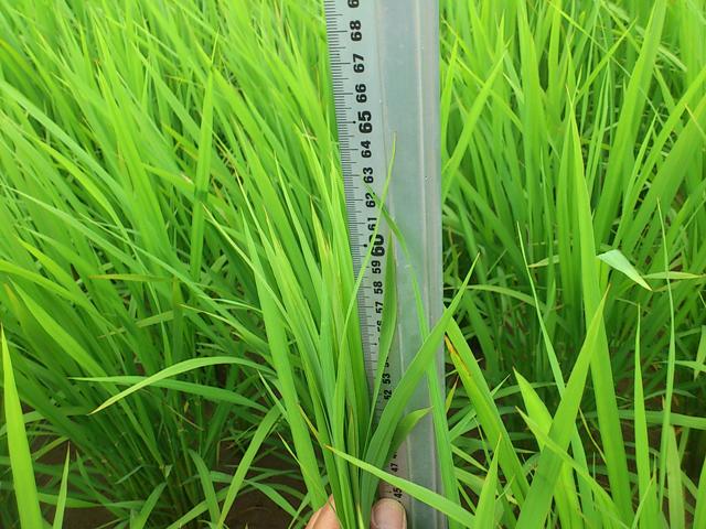 稲の長さを計測